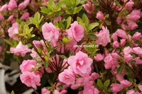Rhododendron 'Rosebud' (Azalea)