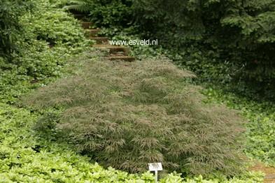 Acer palmatum 'Lionheart'