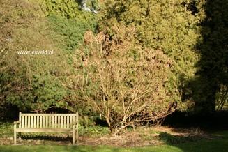 Hydrangea paniculata 'White Lace'