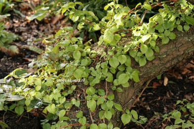 Hydrangea anomala 'Cordifolia'