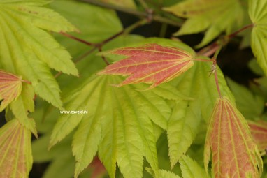 Acer shirasawanum 'Munn001' (MOONRISE)