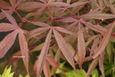Acer palmatum 'Aka-hosada'