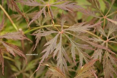 Acer palmatum 'Elmwood Spreader'