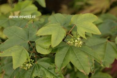 Acer campbellii ssp. sinense 'Rogov'