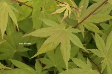 Acer palmatum 'Shadow's Selection'