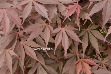 Acer palmatum 'Raigo-ji'