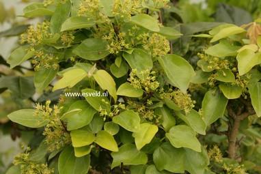 Acer buergerianum 'Miyadono'