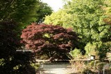 Acer palmatum 'Nigrum'
