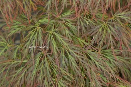 Acer palmatum 'Bronzewing'