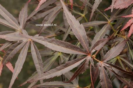 Acer palmatum 'Ginshi'
