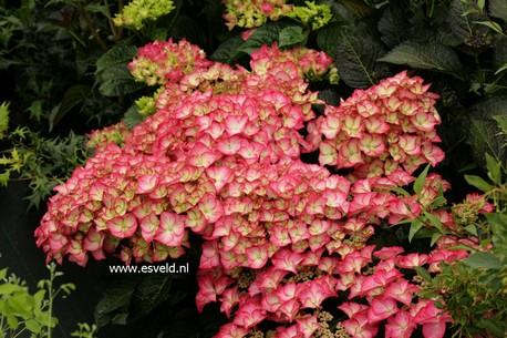 Hydrangea macrophylla 'Adula'