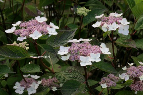 Hydrangea macrophylla 'Belzonii'