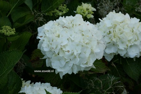 Hydrangea macrophylla 'Weisse Koenigin'