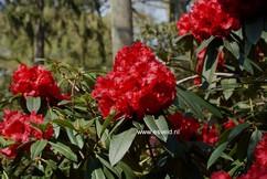 Rhododendron 'Taurus'