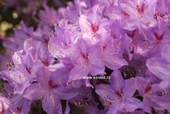 Rhododendron lochmium