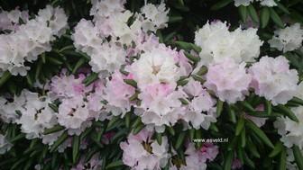 Rhododendron 'Yaku Angel'