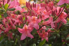 Rhododendron 'Jolie Madame' (Azalea)