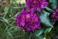 Rhododendron 'Sir Thomas Sebright'