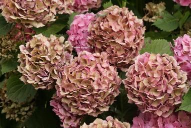 Hydrangea macrophylla 'Paris'