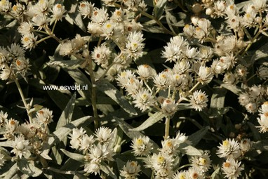 Anaphalis triplinervis 'Sommerschnee'