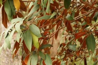 Rhododendron 'Sir Charles Lemon'