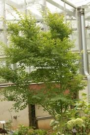Acer palmatum 'Tsukasa Silhouette'