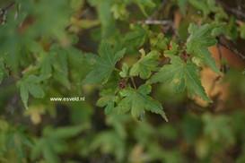 Acer palmatum 'Vic's Broom'