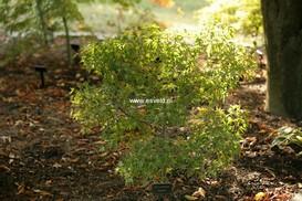 Acer palmatum 'Jewels'
