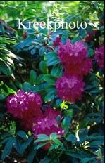 Rhododendron 'Mme Ida Rubinstein'