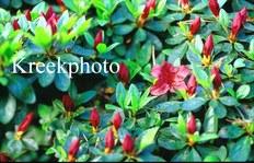 Rhododendron 'Buccaneer' (Azalea)