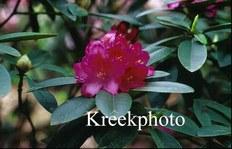 Rhododendron 'Constanze'