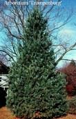Pinus flexilis 'Vanderwolfs Pyramid'