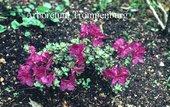 Rhododendron calostrotum