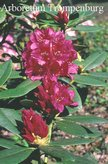 Rhododendron 'Dr. H.C. Dresselhuys'