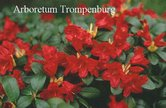Rhododendron repens 'Juwel'