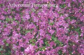 Rhododendron kiusianum alpinum