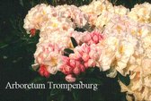 Rhododendron 'Morning Magic'