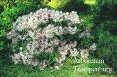 Rhododendron 'Oldenburg'