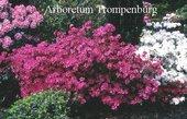 Rhododendron 'Rosalind' (Azalea)