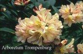 Rhododendron 'Silvia'
