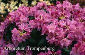 Rhododendron 'Vater Boehlje'
