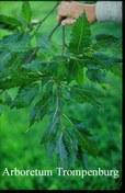 Quercus castaneifolia 'Green Spire'