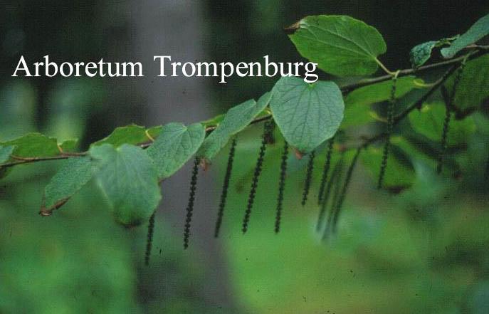 Tetracentron