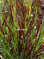 Panicum virgatum 'Sangria'