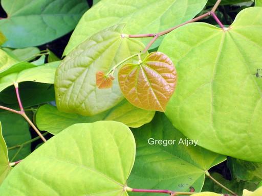 Cercis canadensis 'Melon Beauty'