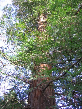 Sequoia sempervirens 'Martin'