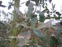 Quercus hispanica 'Ambrozyana'