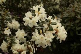 Rhododendron 'Cream Crest'