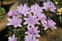 Rhododendron 'Pygmaea'