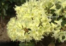 Rhododendron 'Shamrock'
